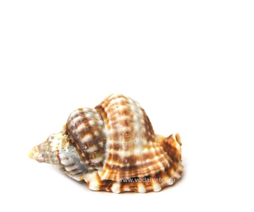 Морская раковина (малая)